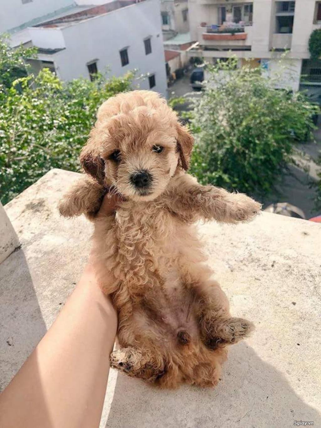 2 em chó cái poodle dòng tiny - 5