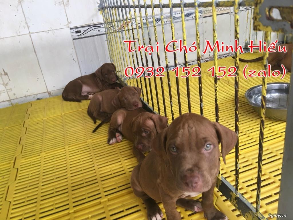 bán chó pitbull american màu socola - 3