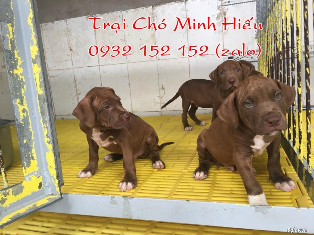 bán chó pitbull american màu socola - 4