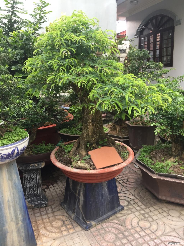 Bán tất cả cây kiểng đã thành phẩm tại tphcm - 6