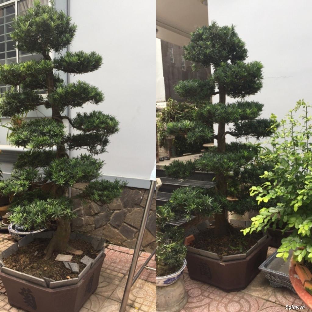 Bán tất cả cây kiểng đã thành phẩm tại tphcm - 5