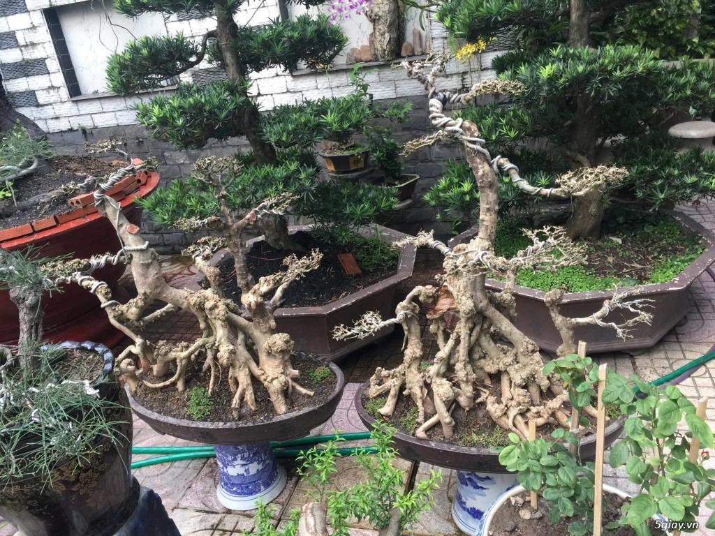 Bán tất cả cây kiểng đã thành phẩm tại tphcm - 8