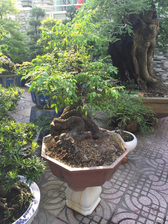 Bán tất cả cây kiểng đã thành phẩm tại tphcm - 3