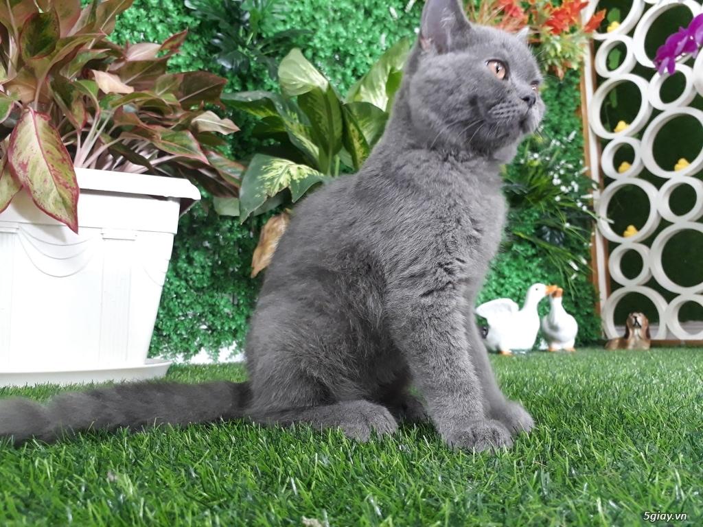 Bán 1 Pé Mèo ALN Xám Xanh 4 tháng tuổi hàng chuẩn cực cute giá tốt - 2