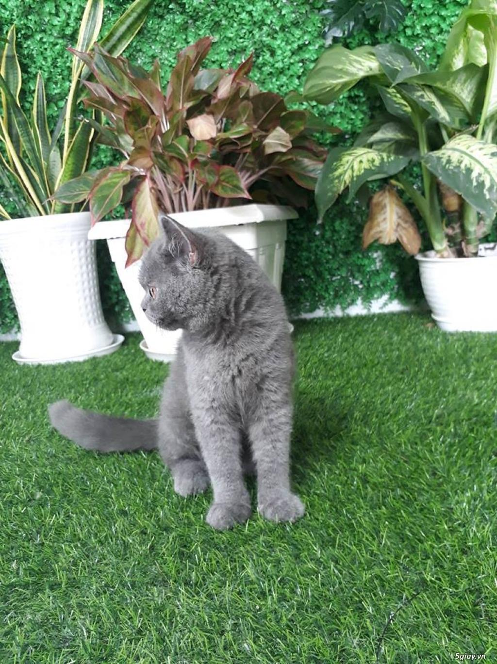 Bán 1 Pé Mèo ALN Xám Xanh 4 tháng tuổi hàng chuẩn cực cute giá tốt - 3