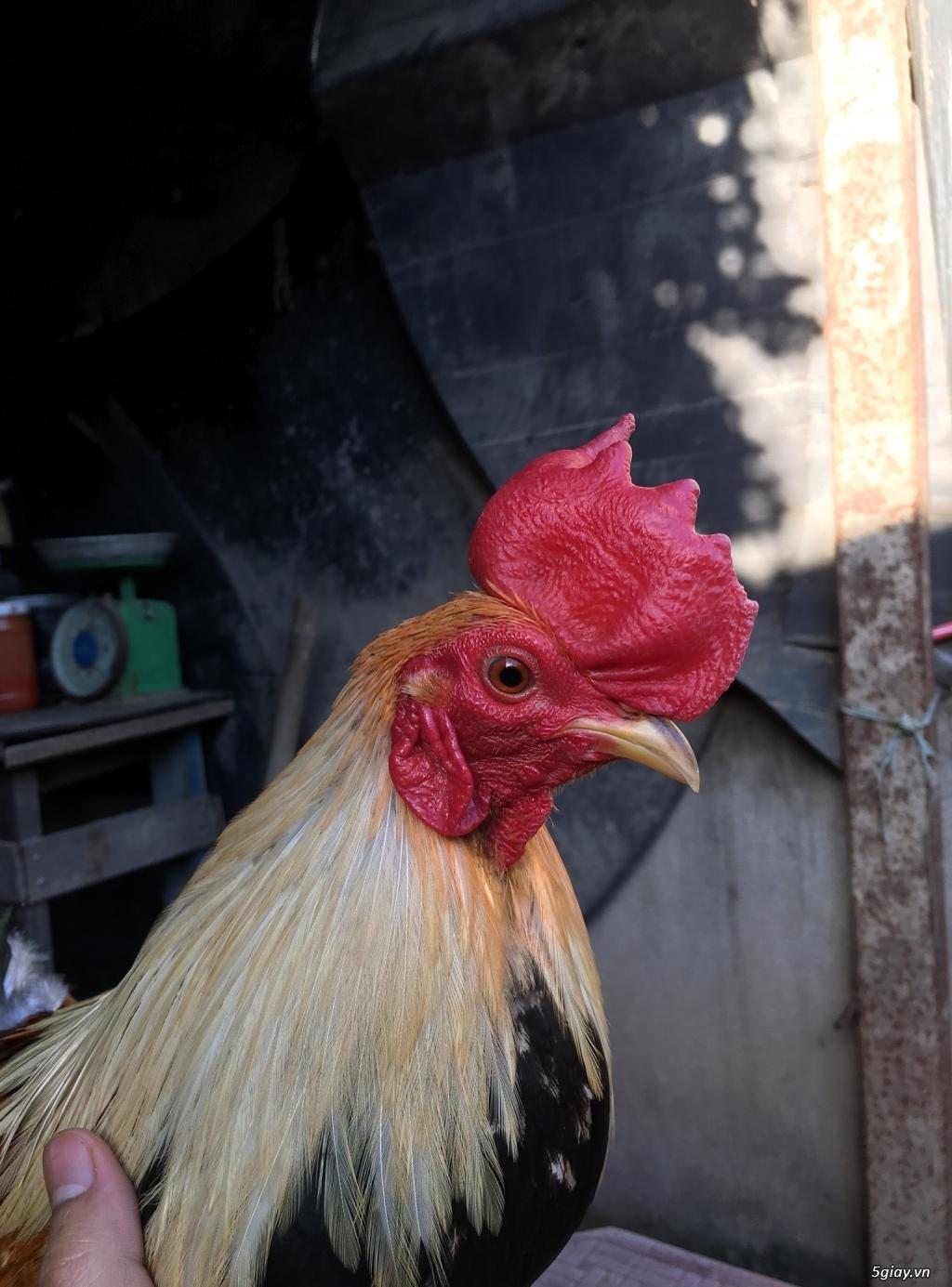 Bán gà tre lai mỹ ! (update gà mới thường xuyên) - 3