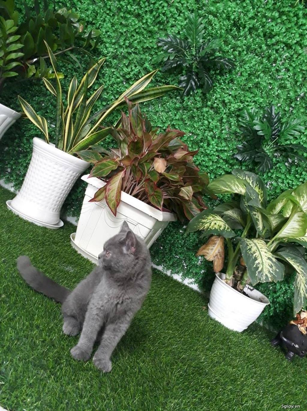 Bán 1 Pé Mèo ALN Xám Xanh 4 tháng tuổi hàng chuẩn cực cute giá tốt - 1
