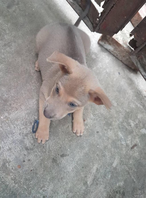 nhà e có đàn chó con được 2 tháng tuổi của nhà nuôi lai phú quốc. các