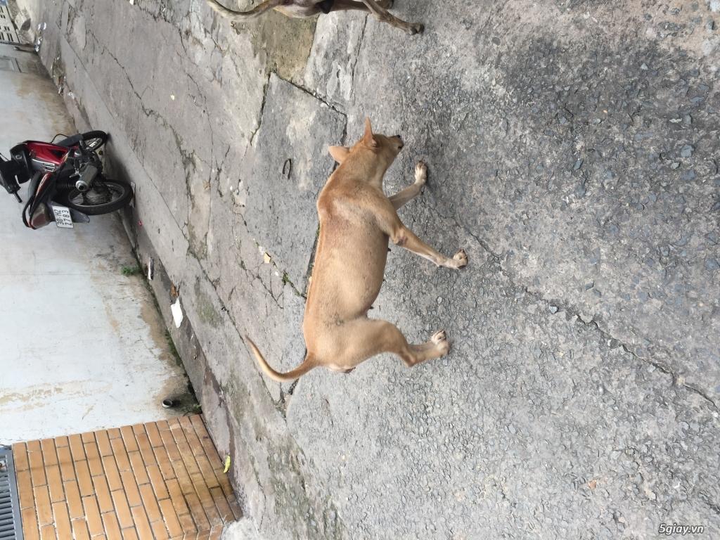 Cần bán chó phú quốc giá rẻ như cho ace nào cần hốt về dùm - 2