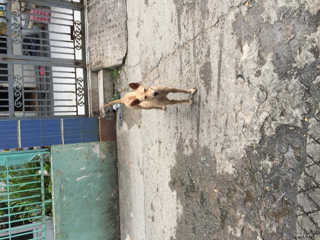 Cần bán chó phú quốc giá rẻ như cho ace nào cần hốt về dùm - 1