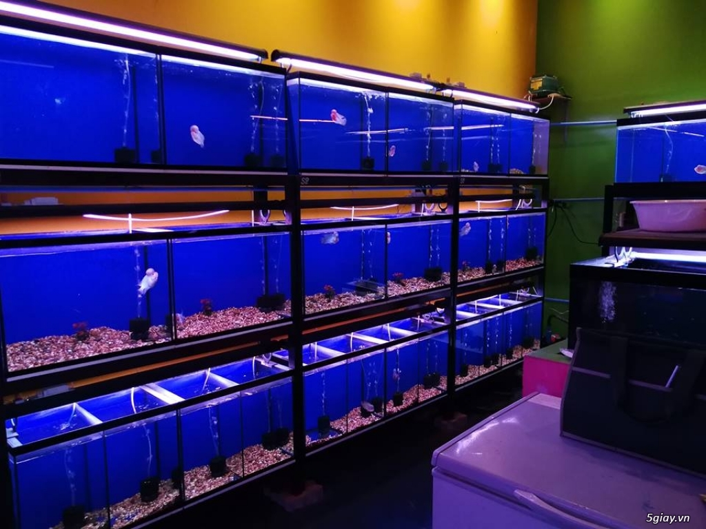 Cá La Hán nhập khẩu < THÁI LAN > cực đẹp cho anh em đam mê nuôi kiểng