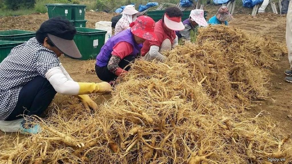 Sâm tươi Hàn Quốc 6 năm tuổi - hàng xách tay cực chuẩn 100% - 3