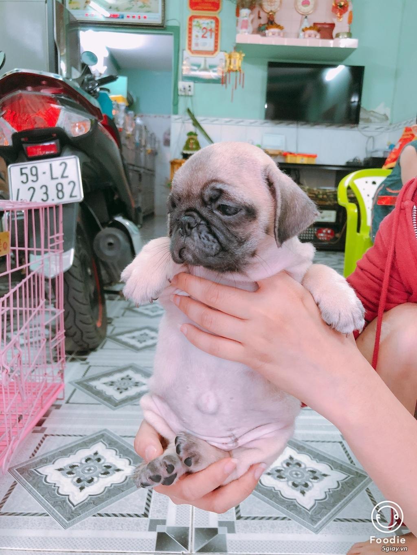 Cần bán chó CORGI, chó PUG con giá tốt - dáng chuẩn - 4