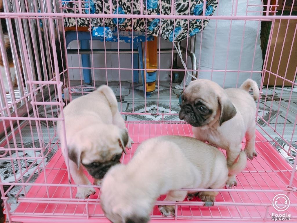 Cần bán chó CORGI, chó PUG con giá tốt - dáng chuẩn - 3