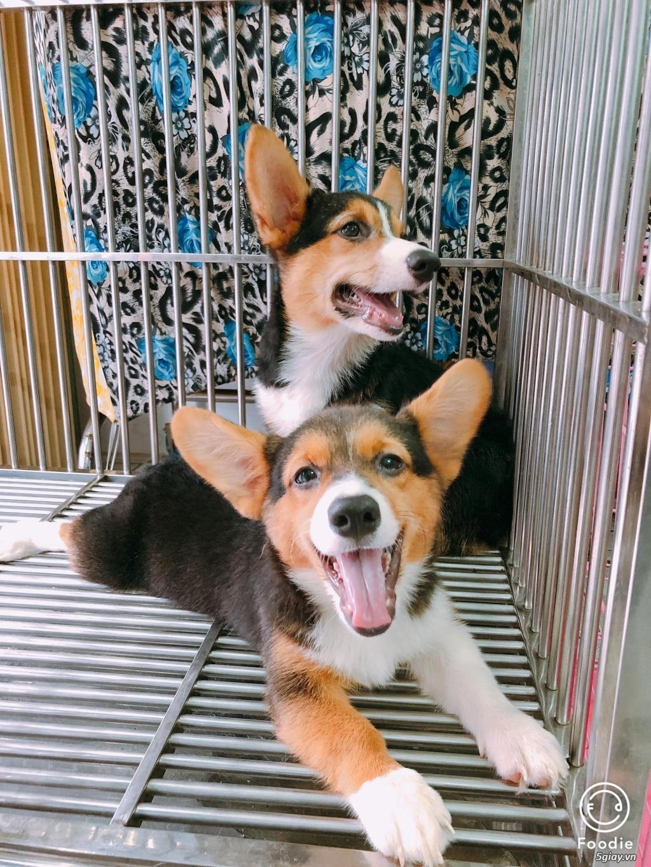 Cần bán chó CORGI, chó PUG con giá tốt - dáng chuẩn