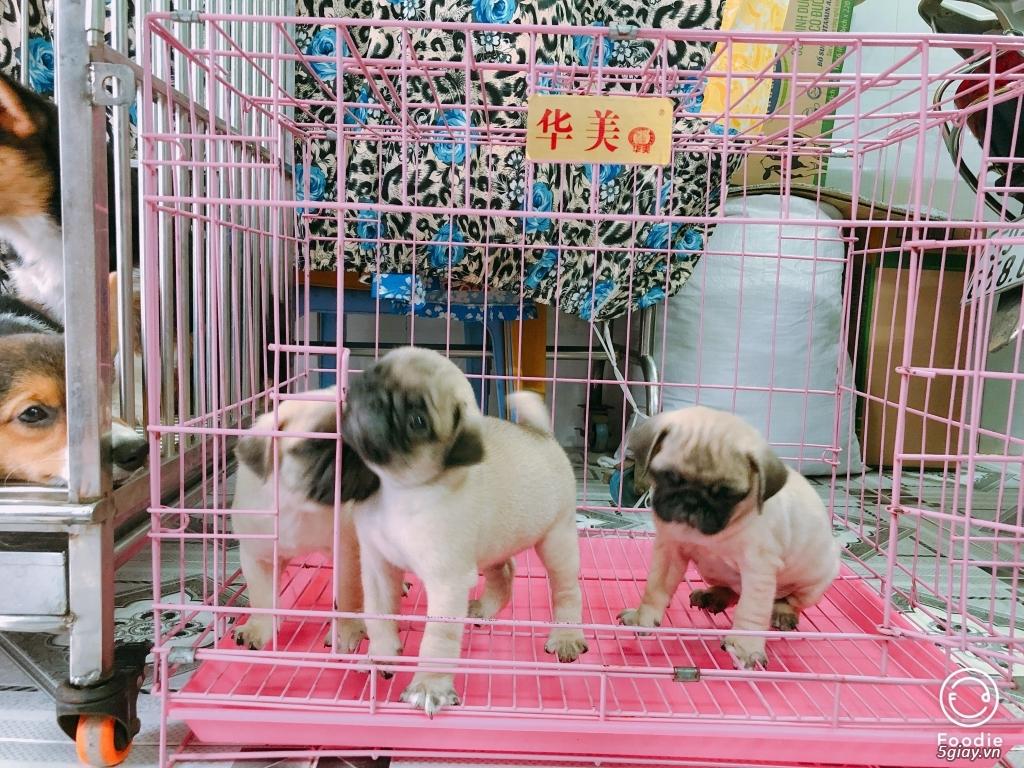 Cần bán chó CORGI, chó PUG con giá tốt - dáng chuẩn - 2
