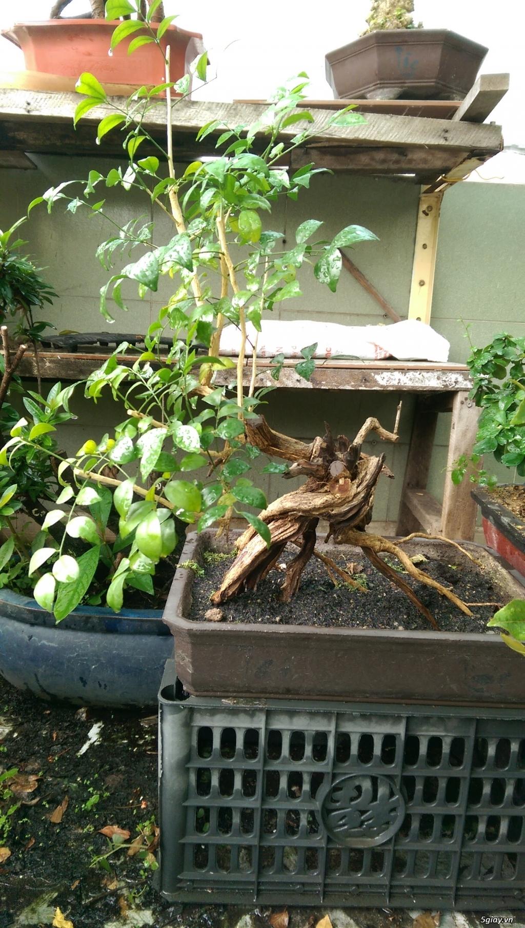Giao lưu vài em bonsai mini giá mềm!!!