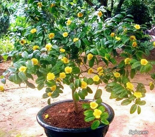 Siêu cây cảnh trà hoa vàng - 2