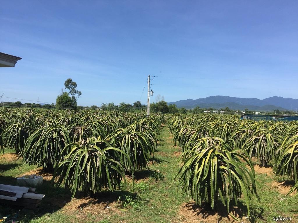 Bán đất trồng thanh long 9200m2, 1000 trụ thanh long. Bình Thuận - 2