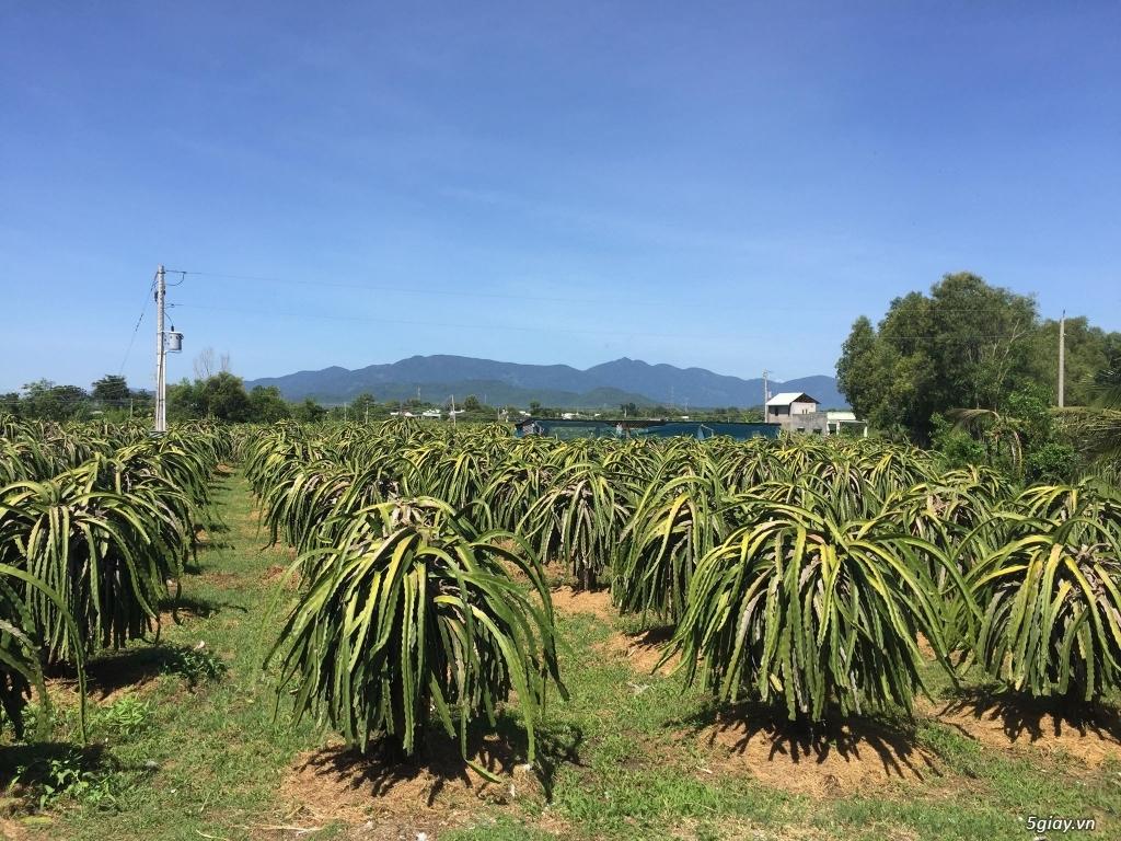 Bán đất trồng thanh long 9200m2, 1000 trụ thanh long. Bình Thuận - 3