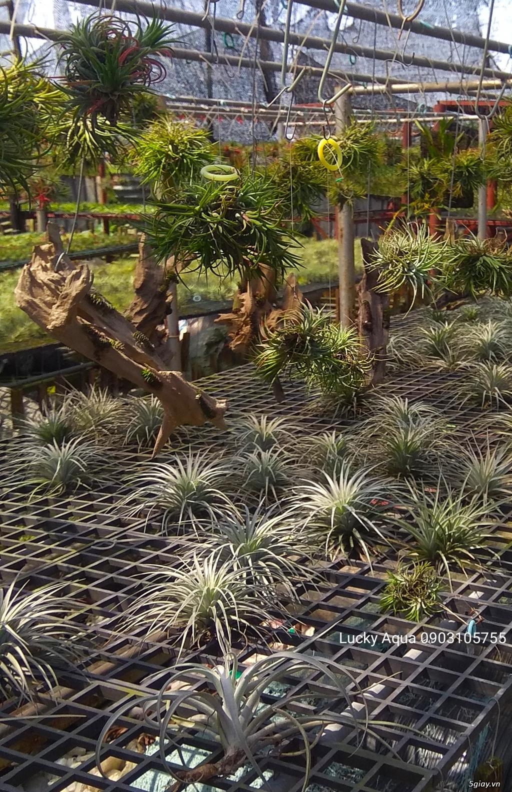 Cây bán cạn , sân vườn , tiểu cảnh hồ koi - 16