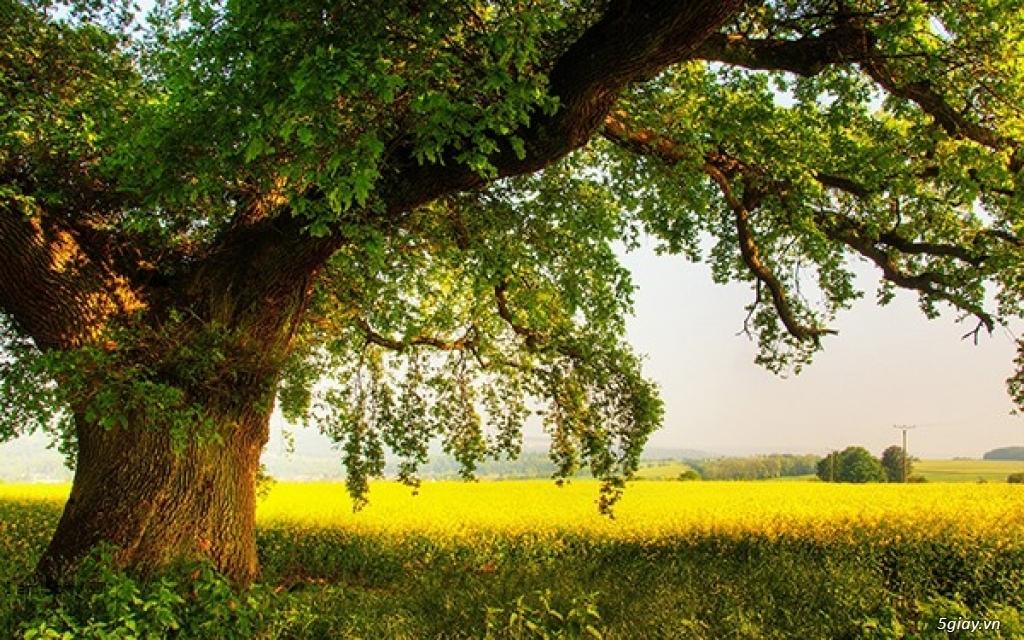 Vì sao Gỗ Sồi Trắng (White Oak)và Gỗ Sồi Đỏ (Red Oak) hot nhất
