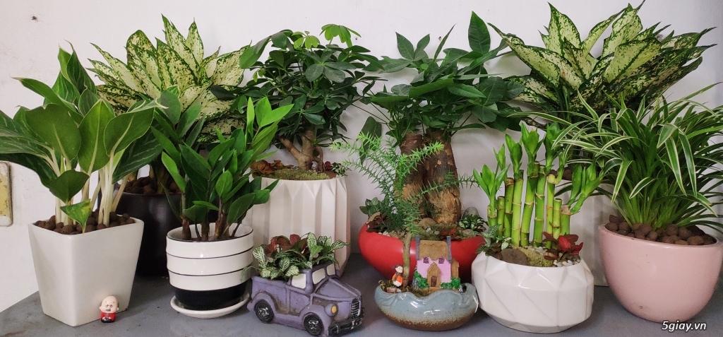 Chuyên cung cấp các loại cây cảnh văn phòng, cây cảnh để bàn, cây cảnh - 3
