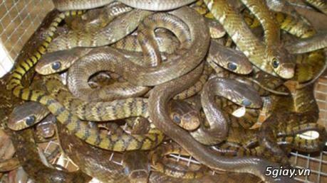 Bán rắn tạp các loại, rắn nước, bông sún,rắn trung
