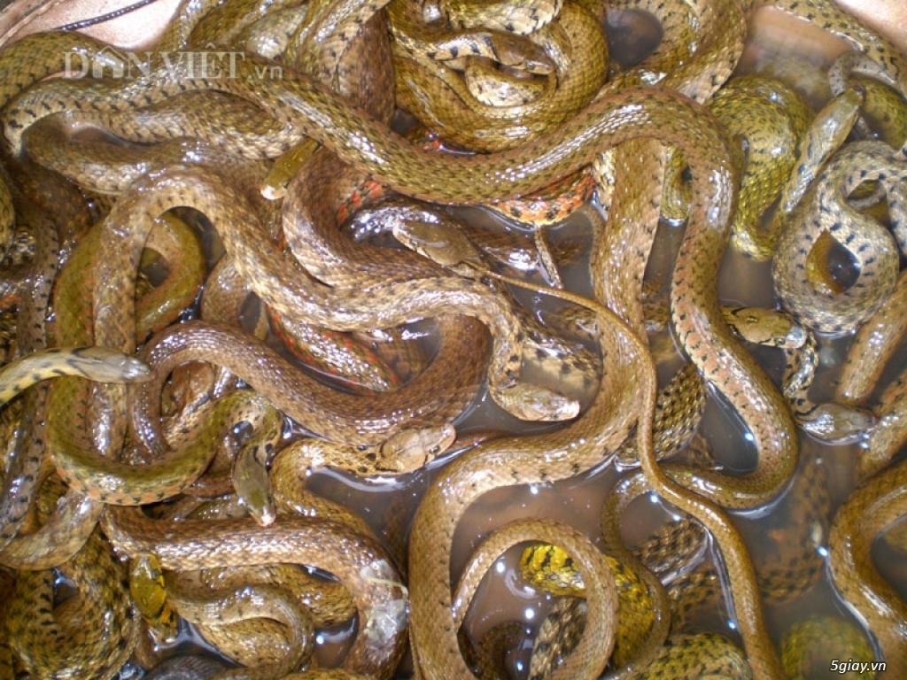 Bán rắn tạp các loại, rắn nước, bông sún,rắn trung - 1