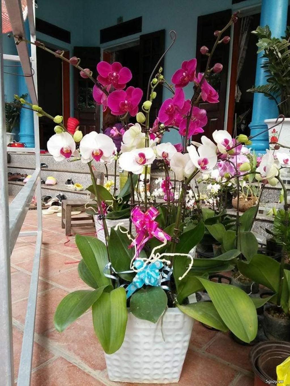 Hoa lan Denro