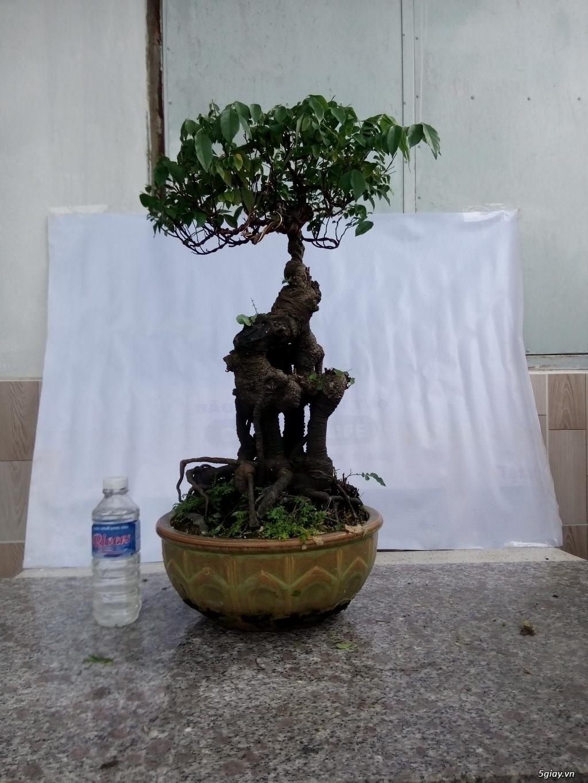 Bán một số cây cảnh bonsai - 13