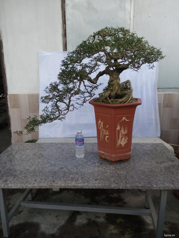 Bán một số cây cảnh bonsai - 4
