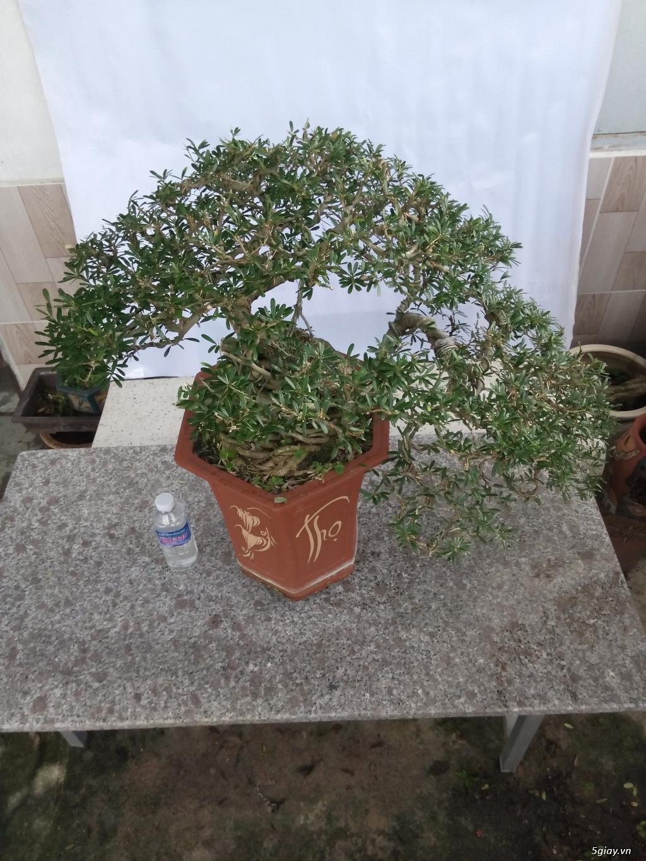 Bán một số cây cảnh bonsai - 5