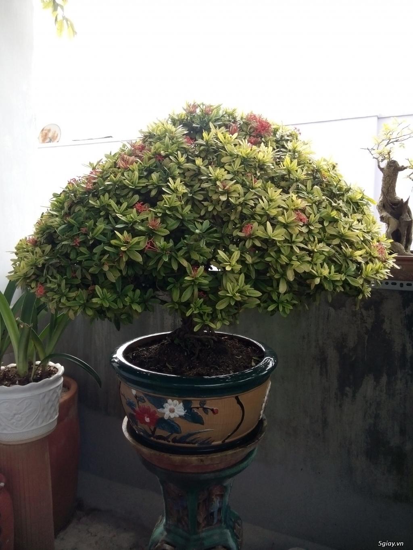 Bán một số cây cảnh bonsai - 3