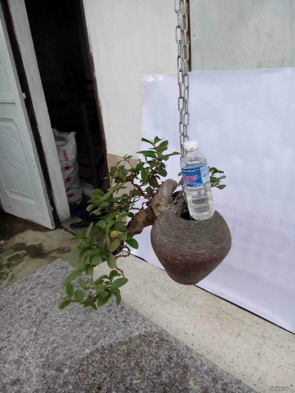 Bán một số cây cảnh bonsai - 7