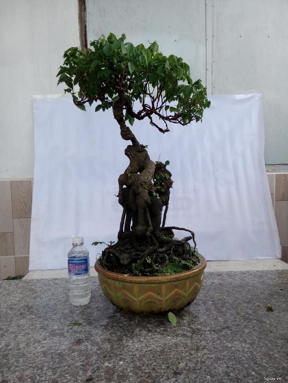 Bán một số cây cảnh bonsai - 11
