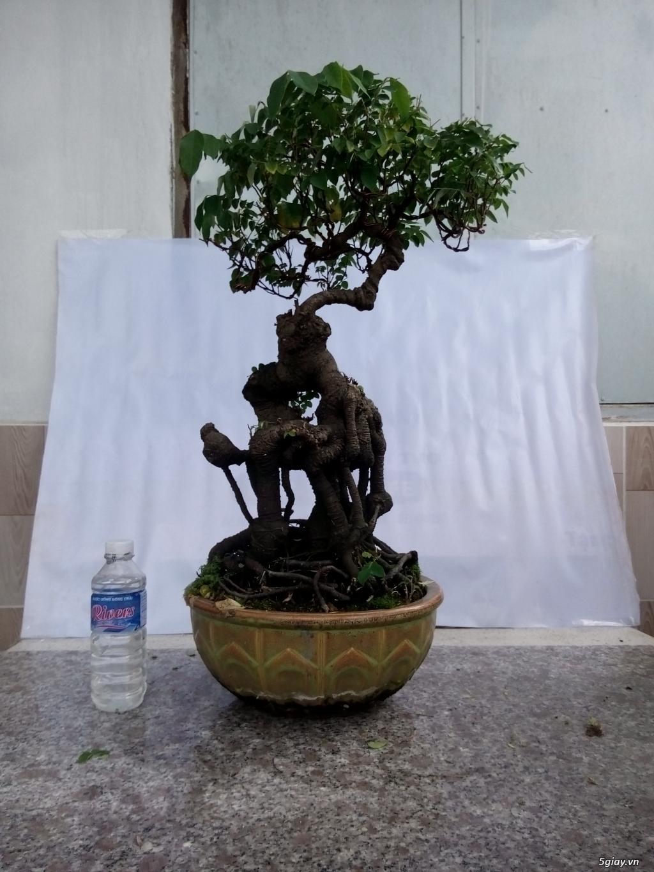 Bán một số cây cảnh bonsai - 12