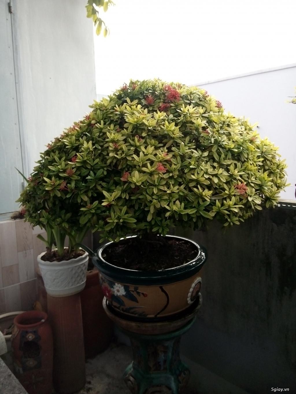 Bán một số cây cảnh bonsai - 2