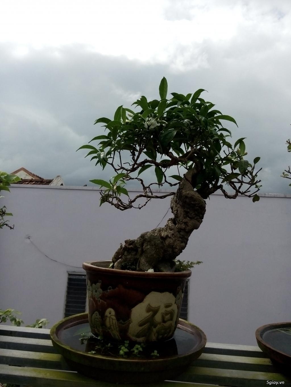 Bán một số cây cảnh bonsai - 6