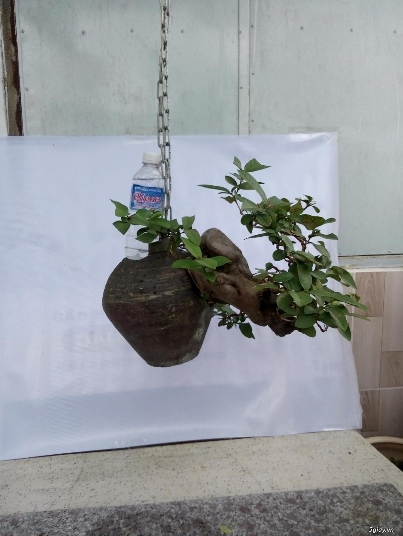 Bán một số cây cảnh bonsai - 8