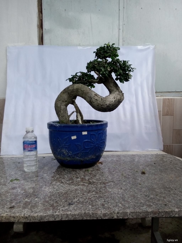 Bán một số cây cảnh bonsai