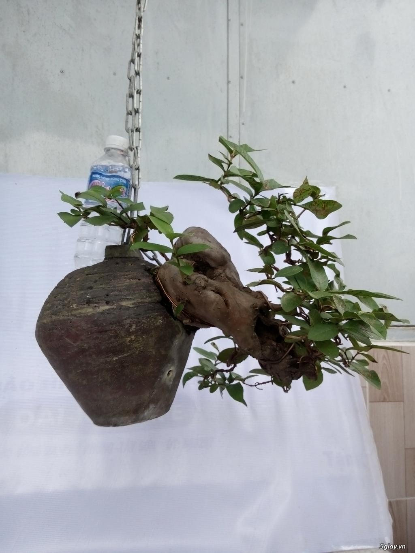 Bán một số cây cảnh bonsai - 9