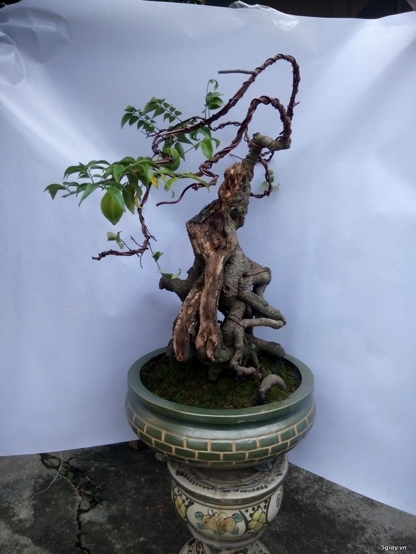 Bán một số cây cảnh bonsai - 14