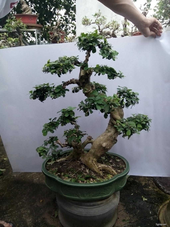 Bán một số cây cảnh bonsai - 10