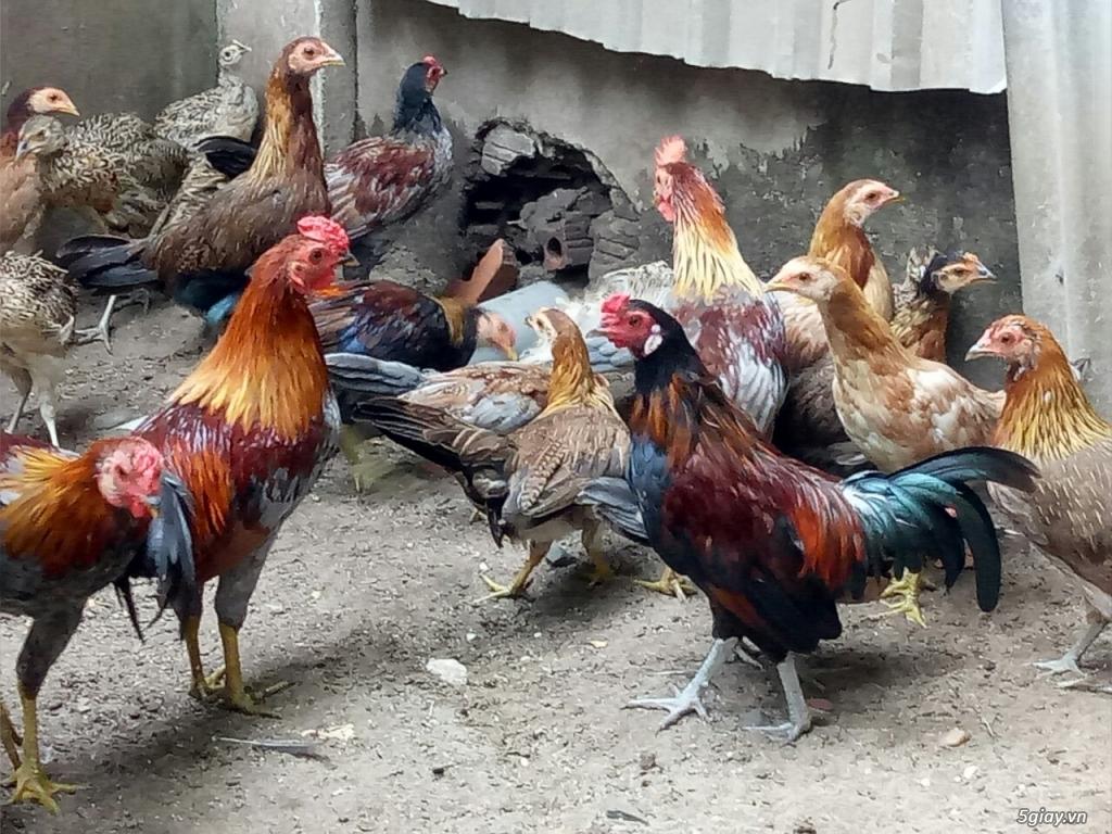 Trại gà QUANG TRUNG chuyên GÀ TRE, NÒI đi kam c1 và những em gà c2 khu phố, hàng chuẩn.