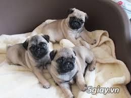 Chuyên phối giống chó poodle, chó pug thuần chủng ở TPHCM. - 3