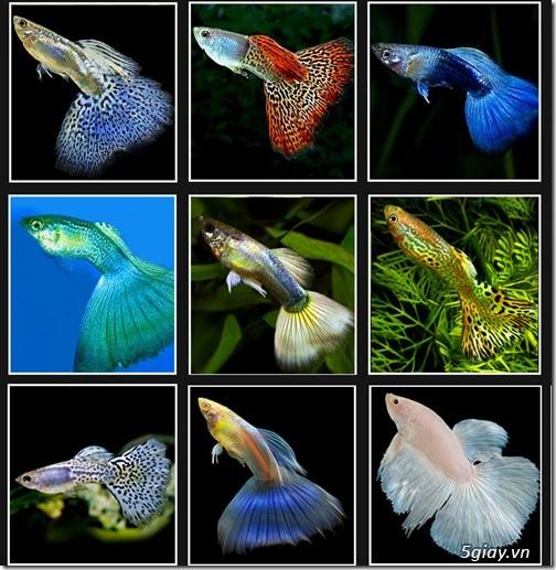 Trại cá cảnh , chuyên 7 màu guppy nhập đặc chủng . - 6