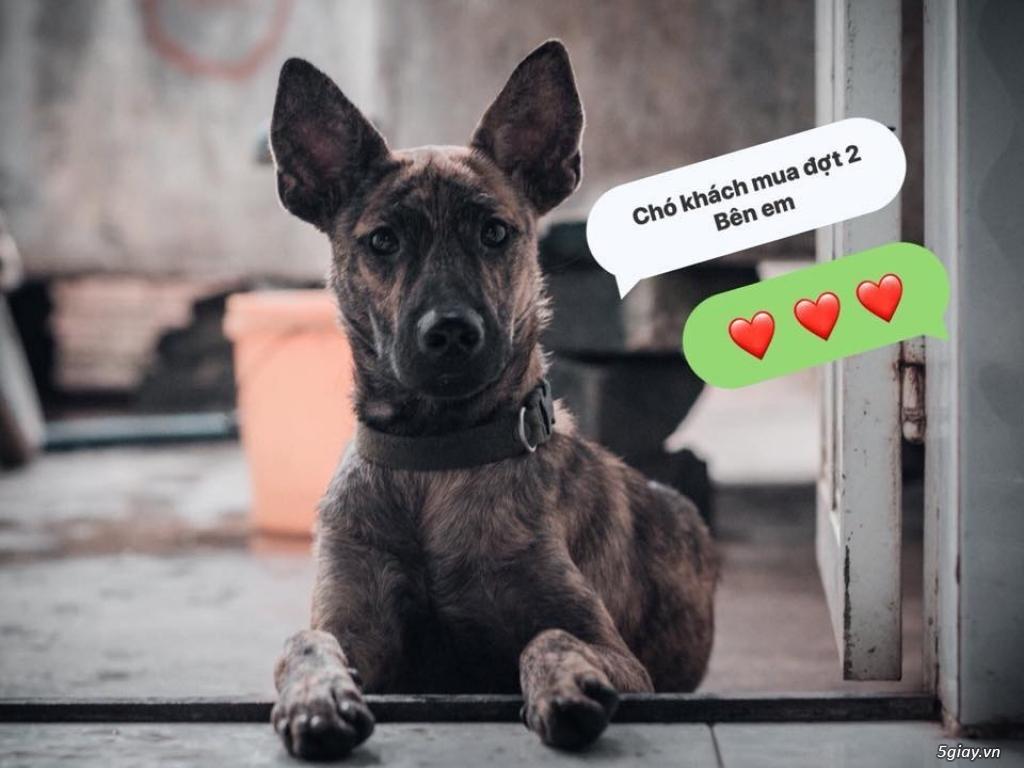Bán Chó Phú Quốc Thuần Chủng Vện Đẹp Móng Đeo Đủ loại ! - 38