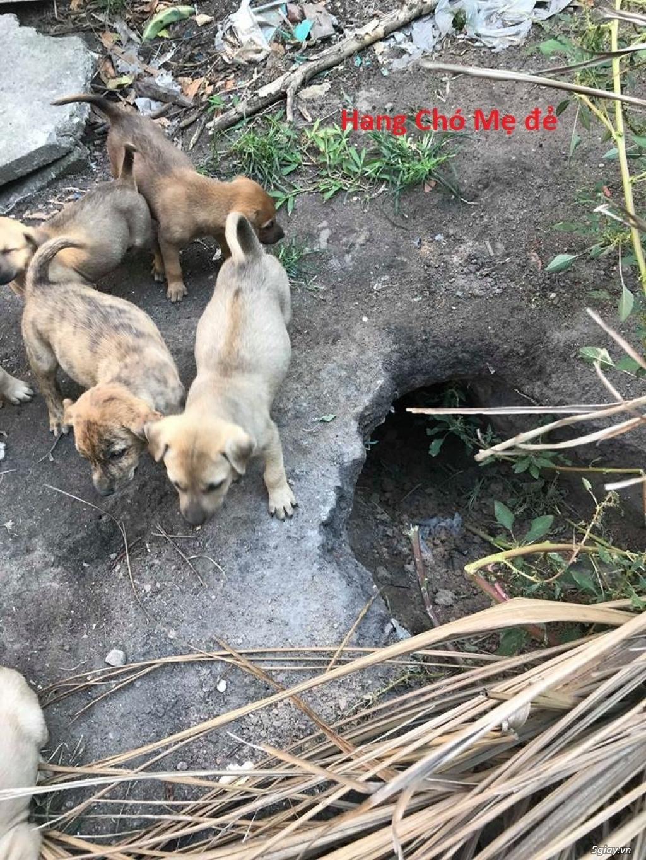 Bán Chó Phú Quốc Thuần Chủng Vện Đẹp Móng Đeo Đủ loại !