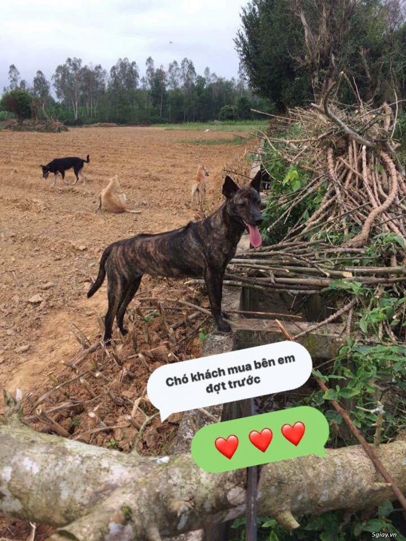 Bán Chó Phú Quốc Thuần Chủng Vện Đẹp Móng Đeo Đủ loại ! - 40